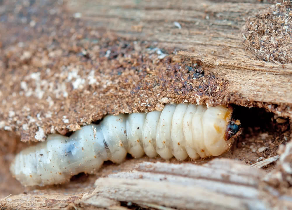 Woodworm treatment Buckinghamshire